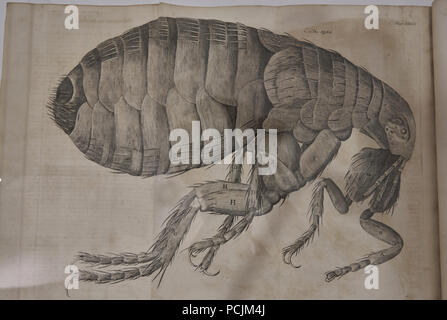 Hooke's drawing of a flea from Micrographia - Stock Image