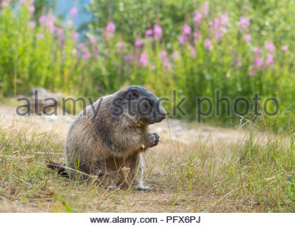 Marmot in Saas-Fee - Stock Image