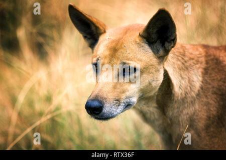 Dingo portrait - Stock Image