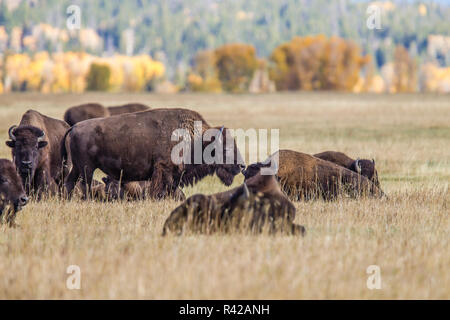 USA, Wyoming, Grand Teton National Park, Jackson Valley Meadow. Grazing bison and Fall color - Stock Image
