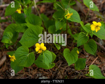 Viola glabella, Smooth Yellow Violet, Yellow wood violet, Pioneer Violet   Found growing at the 3700 foot level in Oregon's Cascade mountains - Stock Image