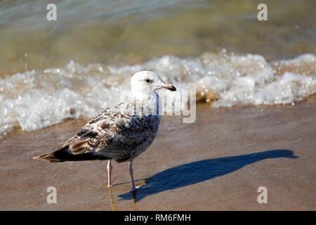 The posing seagull can be observed at the Baltic Sea coast in Kolobrzeg, Poland. - Stock Image