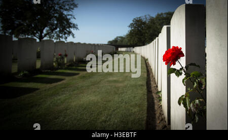 A single red rose with implications of spilled blood leans between the gravestones of a WWI battlefield graveyard - Stock Image