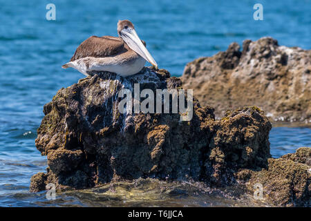 Brown Pelican (Pelecanus occidentalis) perched on the rocky shore in Baja California, Mexico. - Stock Image