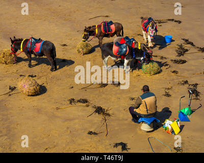 Donkey man on Whitby West Beach with his donkey's enjoying a rest and a feed of fresh hay - Stock Image