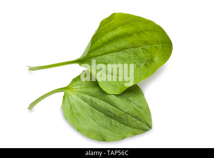 greater plantain leaves isolated on white background - Stock Image