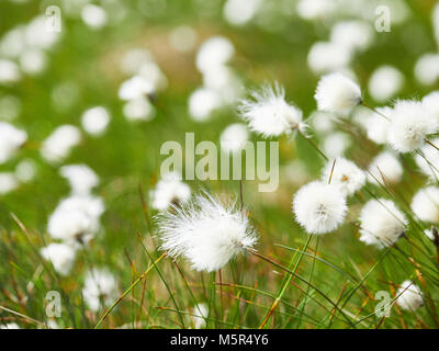 A close up of cotton grass flowers in the English countryside, UK. - Stock Image
