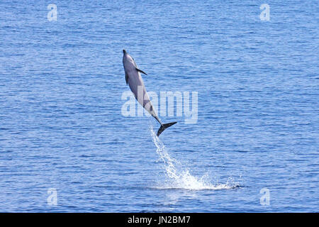Striped Dolphin (Stenella coeruleoalba) breaching in the Indian Ocean - Stock Image
