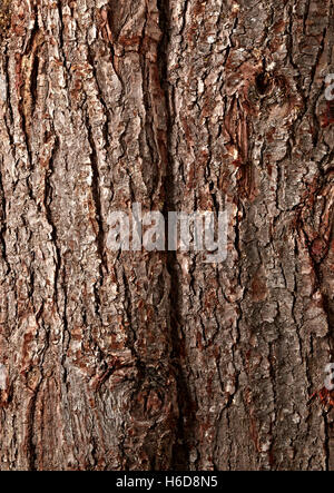 close up of poderosa pine tree bark. Pinus ponderosa - Stock Image