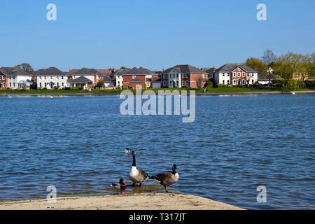 Canada geese on the waterside at Watermead, Aylesbury, Buckinghamshire, UK - Stock Image