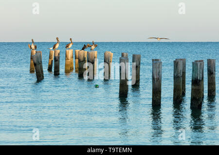 Brown Pelicans (Pelecanus occidentalis) on pier pilings overlooking the Gulf of Mexico, Naples, Florida, USA - Stock Image