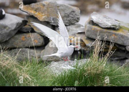 Antarctic tern, Sterna vittata, near Isafjordur, Iceland, North Atlantic Ocean - Stock Image