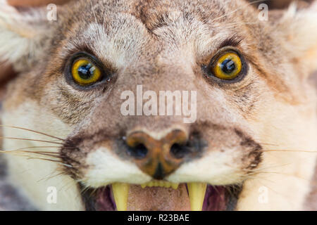The cougar, also commonly known as the puma, mountain lion, panther or catamount - Stock Image