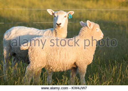 Two sheep grazing at sunset,  Canterbury, New Zealand - Stock Image