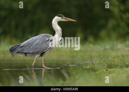 Grey heron (Ardea cinerea) adult wading in shallow water. Scotland. July. - Stock Image
