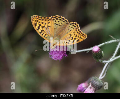 female taking nectar from thistle Hungary June 2015 - Stock Image