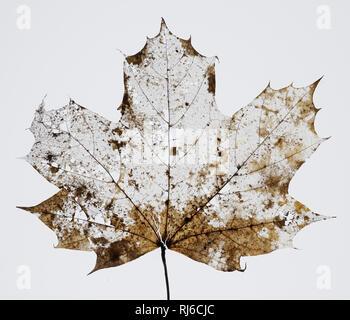 vertrocknetes Ahornblatt mit Löchern und Ausrissen vor weißem Hintergrund - Stock Image