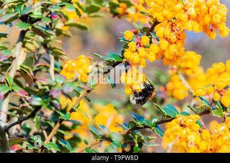 Tree bumblebee Bombus hypnorum on the flowers of a Darwins Barberry berberis darwinii bush - Stock Image