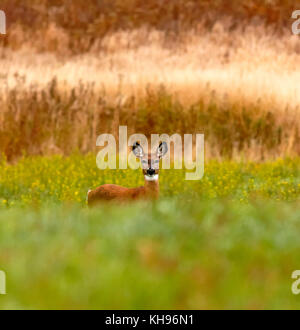 A face-on look at a white-tailed deer in a field near Sussex, Kings County, New Brunswick, Canada. - Stock Image