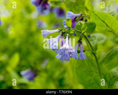 Virginia bluebells (Mertensia virginica). - Stock Image