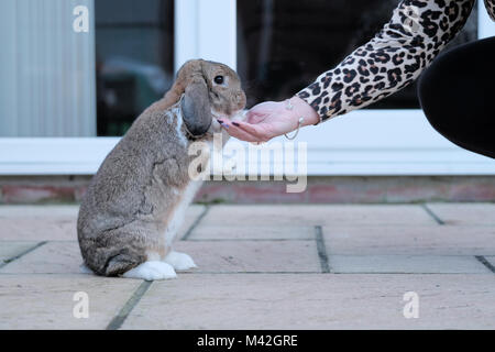 A tame Dwarf Lop rabbit, pet, rabbit eats a treat from its owners hand. the rabbit is totally relaxed and sat up - Stock Image