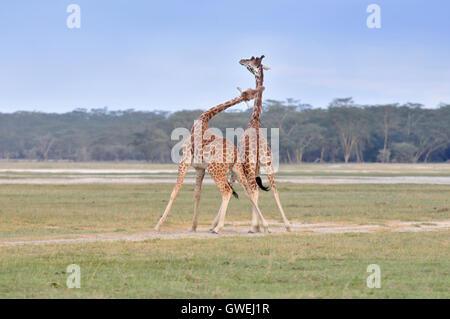 Two male giraffes fighting. Kenya, Africa. - Stock Image