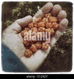 Cloudberries - Stock Image