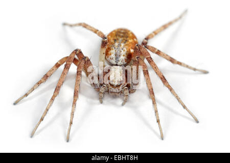Female Philodromus cespitum spider on white background. Family Philodromidae, Running crab spiders. - Stock Image