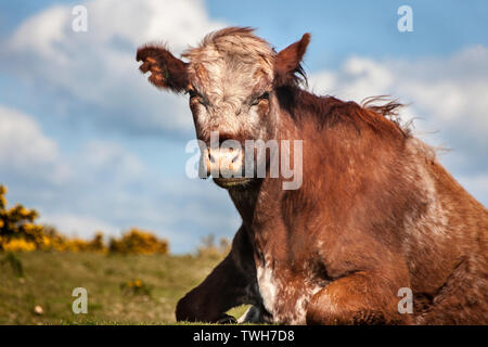 low angle photograph, of cow lying down on grass. - Stock Image