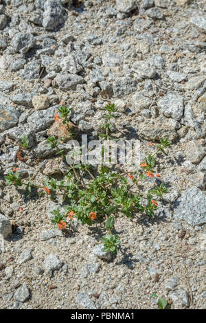 Scarlet Pimpernel [Anagallis arvensis] growing ongranite gravel. - Stock Image
