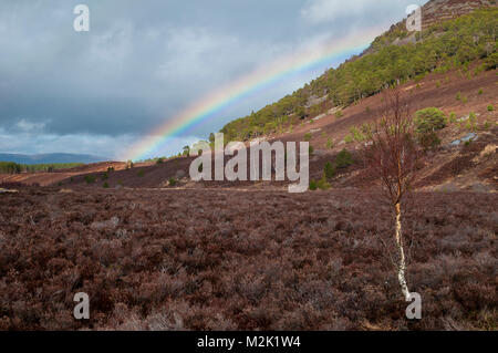 Silver birch tree (Betula pendula), leafless in winter, growing alone on heather moorland under a rainbow in Glen - Stock Image