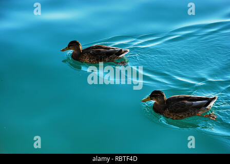 Mallard duck male swimming in a beautiful - Stock Image