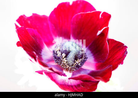 a single red anemone flower on white still life - fresh and contemporary Jane Ann Butler Photography  JABP1794 - Stock Image