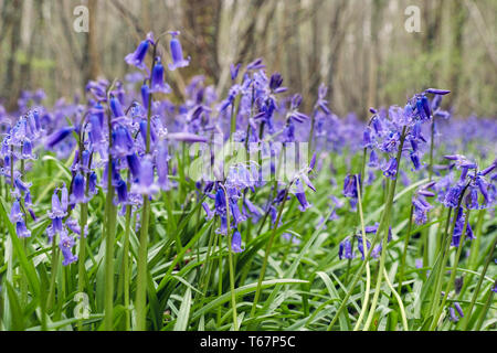 Native English Bluebells growing in a Bluebell wood in spring. West Stoke, Chichester, West Sussex, England, UK, Britain - Stock Image
