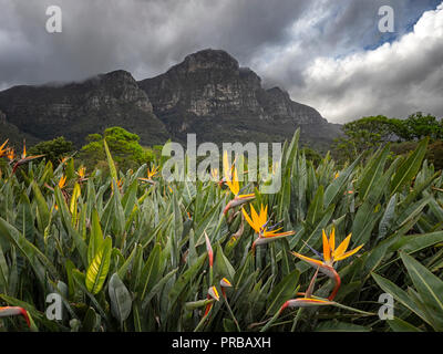 Strelitzia, bird-of-paradise flower, in the Kirstenbosch National Botanical Garden, beneath Table Mountain national park, Cape Town, South Africa - Stock Image