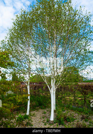 Three White bark Birch trees Betula utilis jacquemontii, in North Yorkshire in spring - Stock Image
