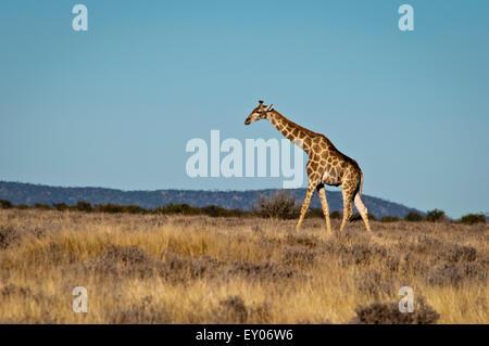 Solitary Giraffe, Giraffa camelopardalis, walking across a grassy plain in Etosha National Park, Namibia, Africa - Stock Image