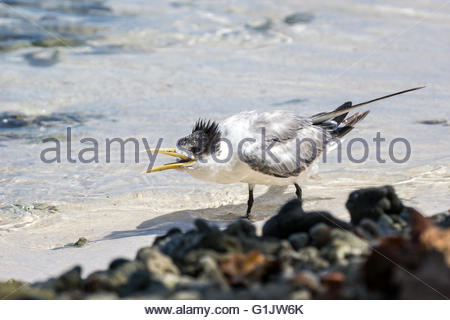 Greater crested tern - Thalasseus bergii - also known as crested tern or swift tern - Stock Image