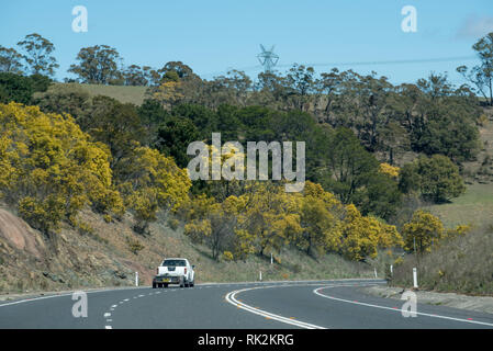Golden Wattle (Acacia pycnantha) in full bloom, lines the road side on the Mitchell Highway heading west towards the inland centre of Bathurst NSW - Stock Image