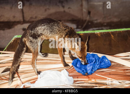 Red Fox, Vulpes vulpes, scavenging for food scraps from a plastic bag, London, United Kingdom - Stock Image