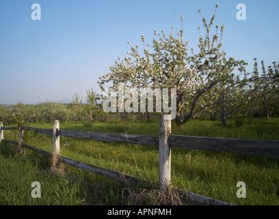 Apple orchard, Williston, Vermont, USA - Stock Image