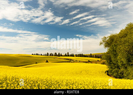 Expansive view of Canola crop, western Idaho. - Stock Image