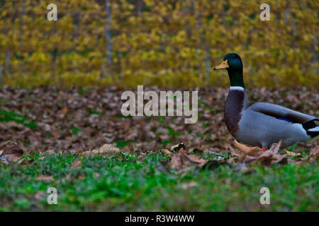 Male duck in autumn walking around lonely - Stock Image