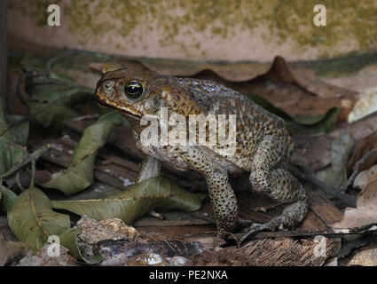 Cane Toad (Bufo marinus) adult foraging in garden, introduced species in Jamaica  Linstead, Jamaica           April 2012 - Stock Image