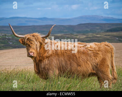Highland cattle on Islay Scotland - Stock Image