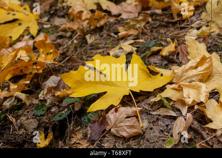 Big yellow Maple, Acer macrophyllum leaves on the ground with leaf spots at Calaveras Big Trees State Park in California, USA- large autumn background - Stock Image