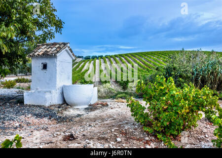 Rows of grapes in a vineyard - Stock Image