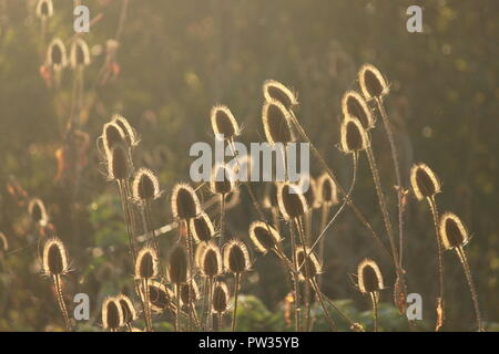 Teasels in sunlight on an atumunal day. Dipsacus fullonum. - Stock Image