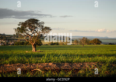 tree on a grassy field at sunset - Stock Image