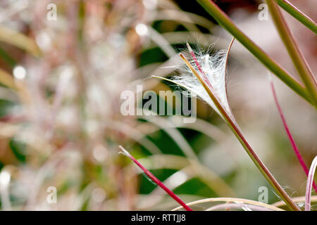 Rosebay Willowherb (epilobium angustifolium, also chamerion or chamaenerion angustifolium), a backlit close up of a seed pod splitting open. - Stock Image